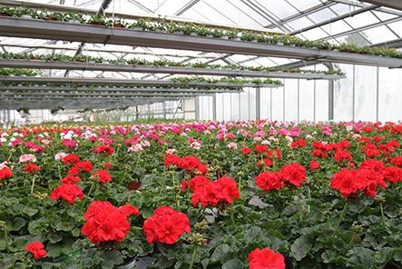 horticulture muller - serres géranium